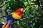 scarlet macaws have returned to the Guabo Valley