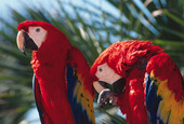 The beautiful Scarlet Macaw is common in the Osa area